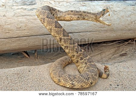 rattle snake in sand