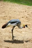 African crown crane side profile view dired clay soil poster
