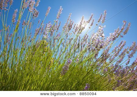 Lavender Flowers With The Blue Sky In The Background.
