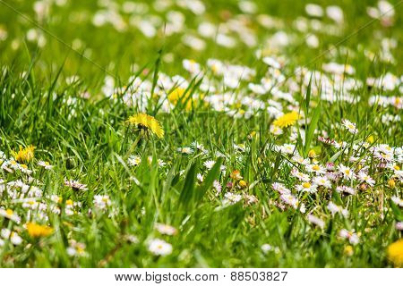 Field With Yellow Dandelions And Little White Chamomile