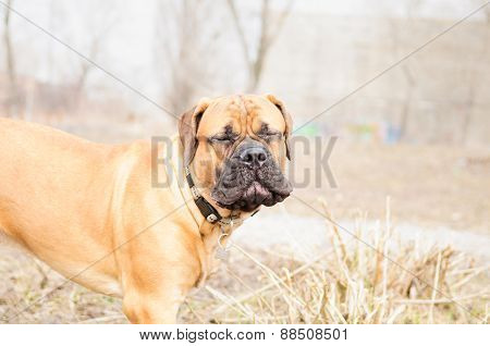 Junior Dog Bullmastiff