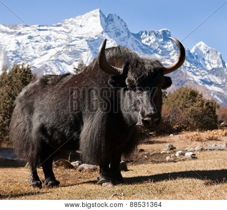 Black Yak And Mount Kongde