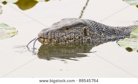 Large Monitor Lizard In Canal