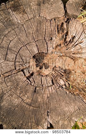 A Cross Section Of An Old Tree