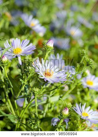 Summer Sunlight Scene: Daisy Or Chamomile Flowers On Green Grass Background