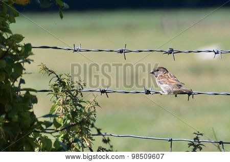sparrow on wire fence