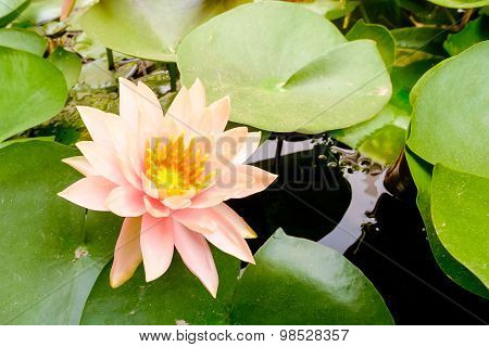 Lotus Flower (water Lily ) In Morning Time