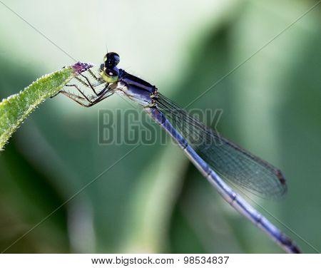 Juvenile Dragonfly