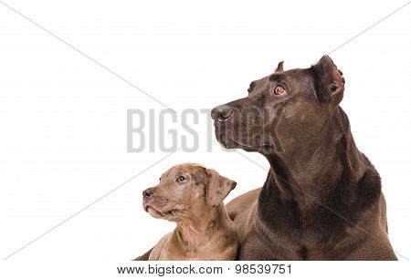 Portrait of a dog and puppy pitbull