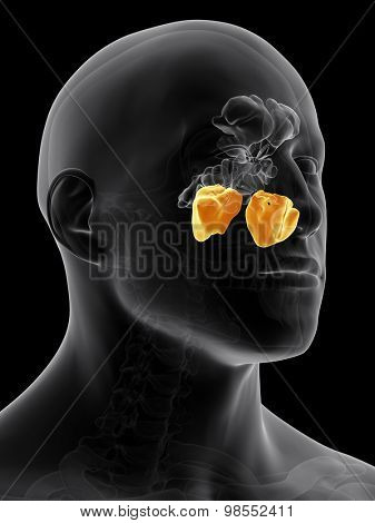 medically accurate illustration of the maxillary sinus