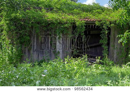 Old wooden outbuilding or shed with red roof overgrown with ivy.