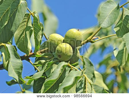 Walnut tree (Juglans regia) with fruit