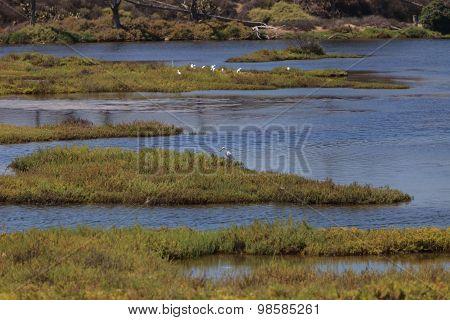 Snowy Egret, Egretta thula, forages in  marsh
