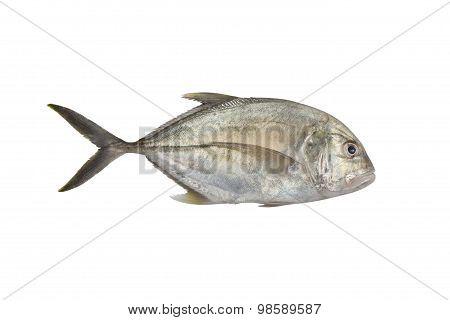 Giant Trevally, Lowly Trevally  Giant Kingfish (caranx Ignobilis)    Isolated On White With Clipping
