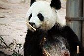 cute giant panda in the zoo of chiangmai, Thailand poster