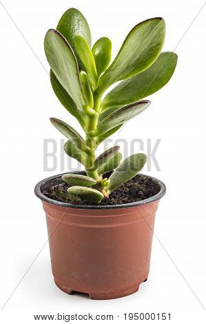 Crassula ovata tree in flower pot on a white background. Crassula branch with leaves close-up