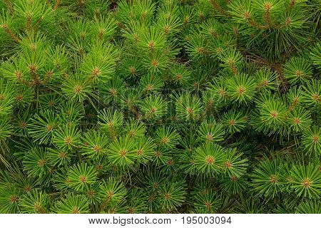 bright green background from the decorative coniferous lops of tree