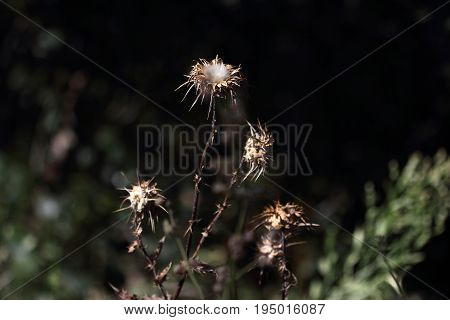 Dry thistle,Silybum marianum, milk thistle plant that serves Beautiful decoration in multiple environments, silymarin, chronic diseases of the liver and gallbladder, silibinin, ingestion of amanita,