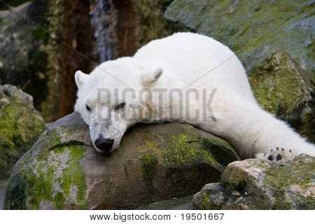 Resting Polar Bear