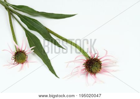 Narrow leaf coneflower Echinacea angustifolia the most medicinal herb from all coneflowers on white background