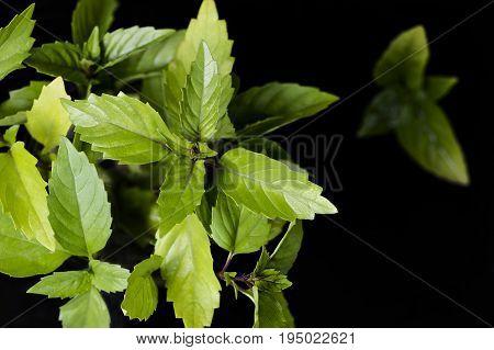 Leaves of Thai basil on the black background