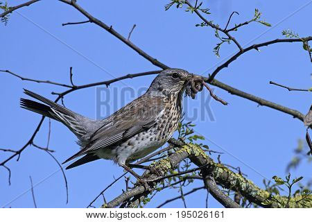 Fieldfare sitting on a branch with earthworms in its beak