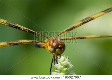 A macro photo of a Halloween Pennant dragonfly in Wisconsin.