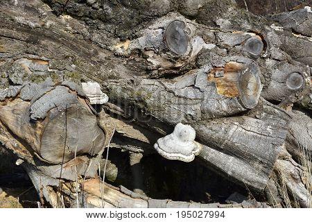 Polypore mushroom on ald stump. Autumn landscape