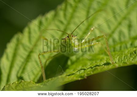 A Pale Green Assassin Bug Zelus luridus waiting on a raspberry leaf.