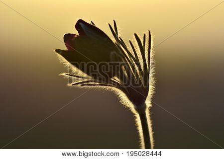 Black Pulsatilla-pulsatilla Pratensis Subsp In Sunset. Nigricans