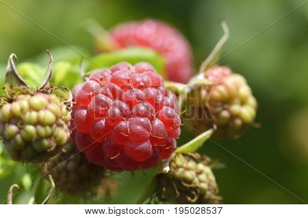 Raspberry bush. Raspberries. Organic ripe red raspberries on the bushes growing garden eating. Branch of ripening raspberries at sunset. Branch of raspberry with large red ripe berries