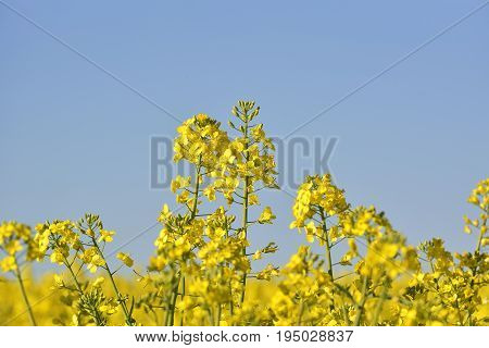 Rapeseed Field, Blooming Canola Flowers Close Up. Rape On The Field In Summer. Bright Yellow Rapesee