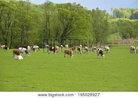 cows on field. Summer sunny day. Cow in pasture. Mountain meadow. Green meadow in mountains and cow summer landscape.