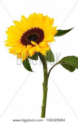 Sunflower isolated on white background. Flower .