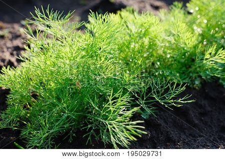 Dill Herb Growing In The Garden For Background Use. Dill Growing In The Ground. Green Fennel Sprouts