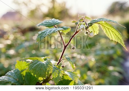 A Flower Of A Raspberry. Flowering Raspberries. Young Sprout Of Raspberries In Spring On A Blurred B