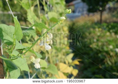 Green Beans On The Plant Just Bloomed