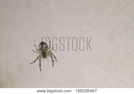 A spider hanging on a cobweb, macro