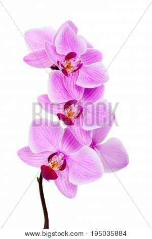 Pink streaked orchid flower isolated. Flower -