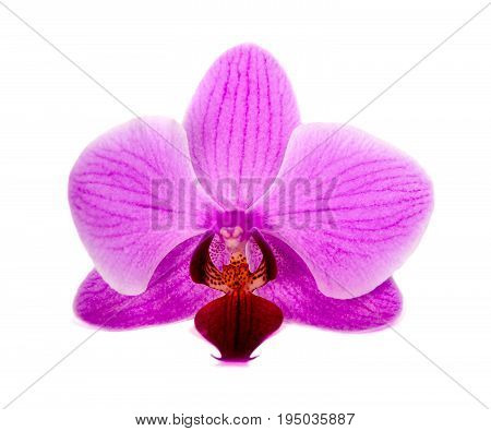 orchid on the white background.  Flower -