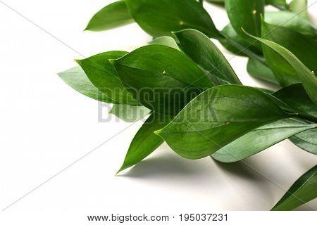Graceful israeli ruscus, isolated on white