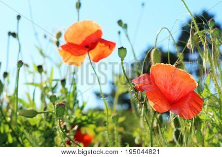 Red poppies in the hot midday in the grass