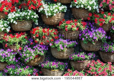 Natural background of petunias flowers in different colors.