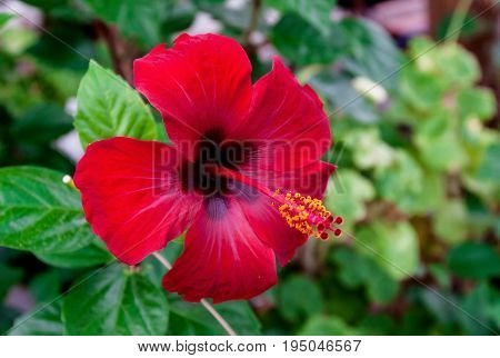 Red Hibiscus flower covered with raindrops .