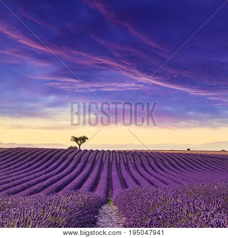 Lavender field summer sunset landscape near Valensole.ProvenceFrance