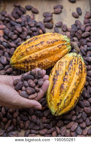 Ripe Cocoa Pod And Dried Cocoa Seed In Hand