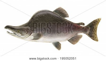 Freshwater Fish Of The Far East - Pink Salmon Male