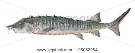 Freshwater Fish Of The Far East - Kaluga