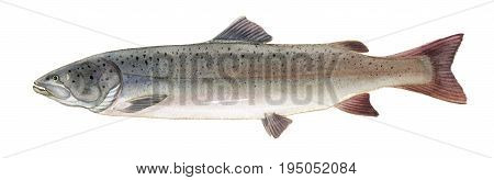 Freshwater Fish Of The Far East - Taimen