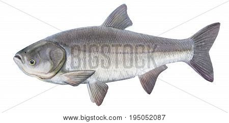 Freshwater Fish Of The Far East  - Silver Carp